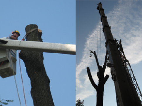 Tree Removal with a ISA and LTE licensed expert